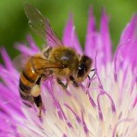 Пчёлка Майя :: Алексей Варфоломеев
