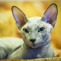 Самая красивая Кошка))) :: Angelica Solovjova