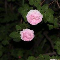 Розы :: Владимир Марков