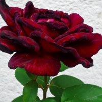 Мне сулит  чудеса Темно - красная роза... :: Galina Dzubina