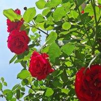 Что шепчут розы по утру? :: Galina Dzubina