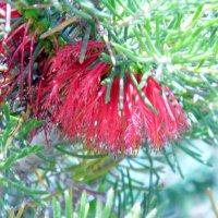 Цветущее деревцо. :: Валерьян