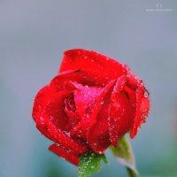 Роза :: Евгений Чумаченко