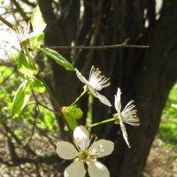весеннее цветение :: Елена