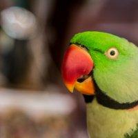 Малый кольчатый (ожереловый) попугай :: Илья Сычев