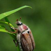 Сегодня он майский жук, а завтра июньский? :: Дмитрий Гортинский