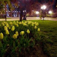 Жёлтые тюльпаны :: Алексей Окунеев