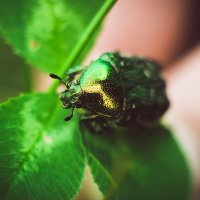 майский жук :: Олька Никулочкина