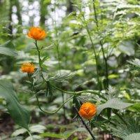 Три цветка :: Наталья Золотых-Сибирская