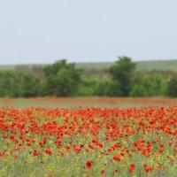 Маковое поле :: Nyusha