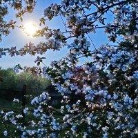 Луна и яблонька. :: Владимир Гилясев