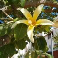 Цветки Чориссии - хлопкового дерева :: Герович Лилия