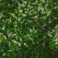 Черемуха цветёт :: Sied Art