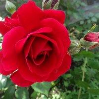 Июньская роза... :: Тамара (st.tamara)