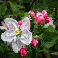 Цветок  яблони :: Наталья S