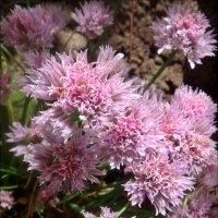 Пушистые цветочки  аллиума :: Нина Корешкова
