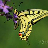 бабочка :: Tatyana Belova