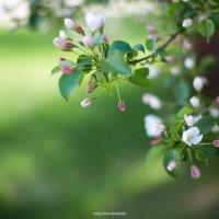 Яблоневый цвет :: Валерия Стригунова