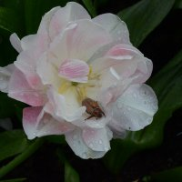 Такие, вот, тюльпаны... :: Александр Шихин