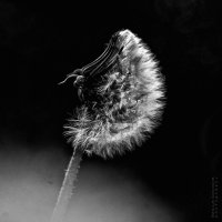 Луна из одуванчика :: Nataliya Kostromina