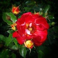 """Розы из сада гостиницы """"Хайят"""" Фото №4 :: Владимир Бровко"""