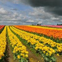 тюльпановое поле :: Galina