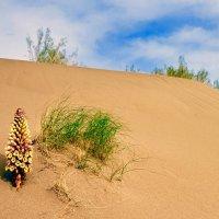 Цветы песков :: Сергей Рычков