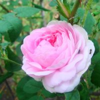 майская роза :: Светлана