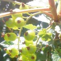 Неспелые ягоды :: Снежанна Нефёдова