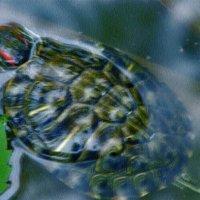 черепах :: Юлия Денискина