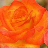 Дама в оранжевом :: Swetlana V