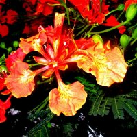 Один цветок королевского делоникса :: Герович Лилия