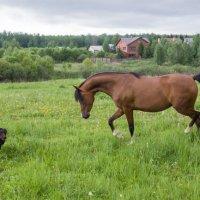 Лошадь играет с собакой :: Николай Ефремов