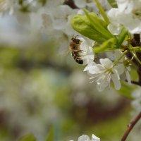Пчела :: Кирилл Фигура
