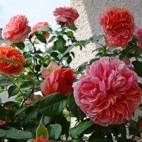 «Английские розы»-Розы Девида Остина :: Galina Dzubina
