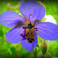 Жучок на цветке герани луговой :: Андрей Заломленков