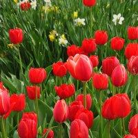 тюльпаны :: vg154