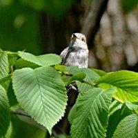 мухоловка :: linnud