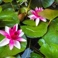 В Никитском ботаническом саду... :: Владимир Сквирский