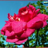 Розовые розы :: Андрей Заломленков