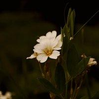 цветок :: Анна Семенченко