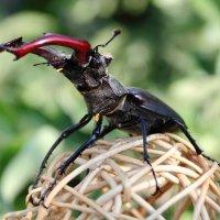 Ему копыта ни к чему-жук олень :: Vladimir Shapoval