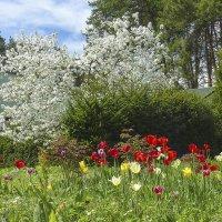 Груша в цвету :: Валерий Изотов