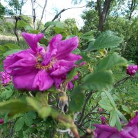 чайная роза :: надя кулинич