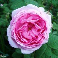 Розовый шиповник :: °•●Елена●•° Аникина♀