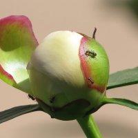 муравьишки :: валя