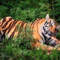 тигр :: Alex4162