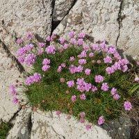 Армерия на скале :: Natalia Harries