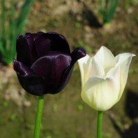 чёрное и белое :: vg154