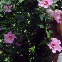 В цветущих гибискусах :: Нина Корешкова